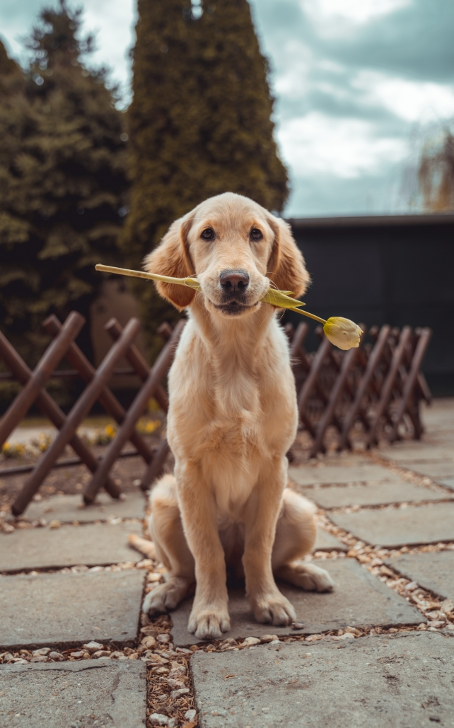 dog holding rose
